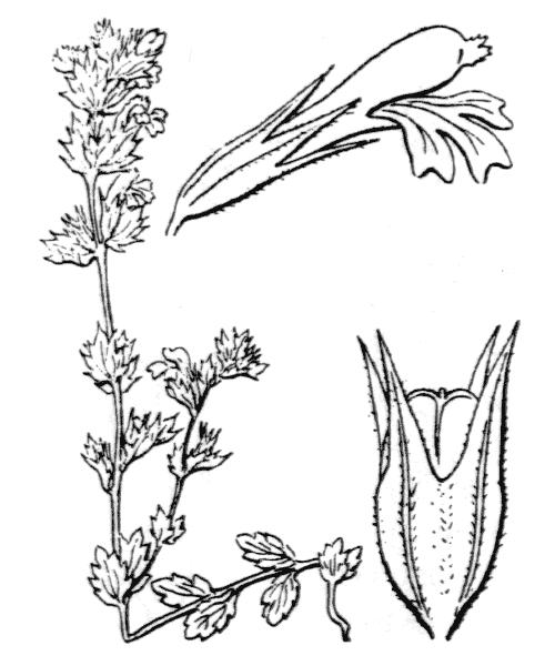 Euphrasia pectinata Ten. - illustration de coste