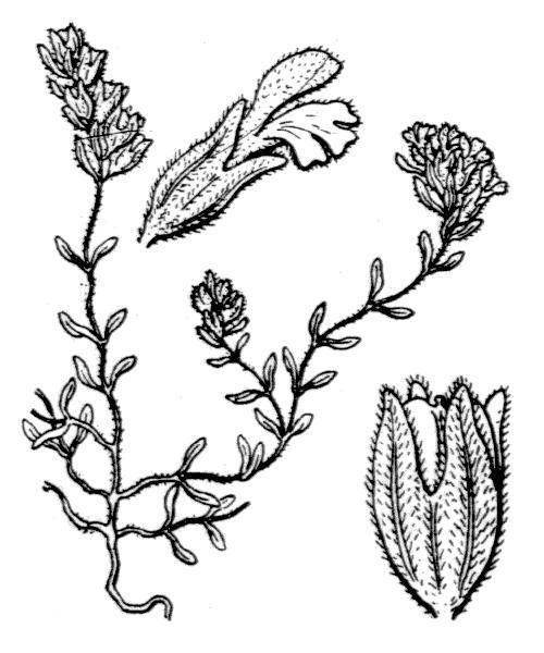 Odontites corsicus (Loisel.) G.Don - illustration de coste