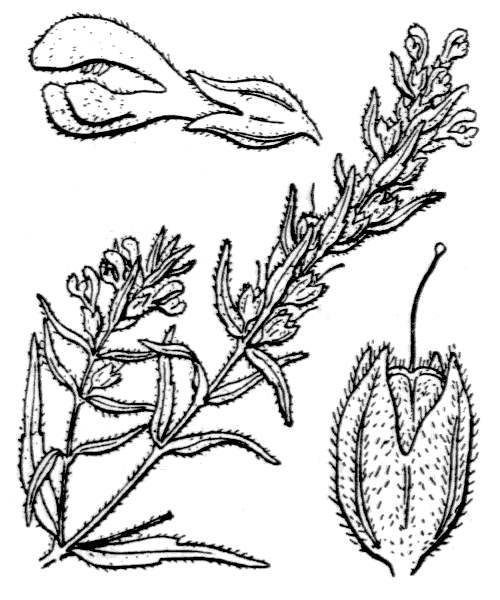 Odontites jaubertianus var. chrysanthus (Boreau) Bolliger - illustration de coste