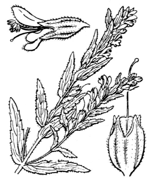 Odontites vernus (Bellardi) Dumort. [1827] - illustration de coste