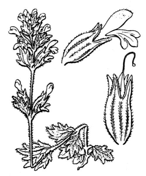 Parentucellia latifolia (L.) Caruel - illustration de coste
