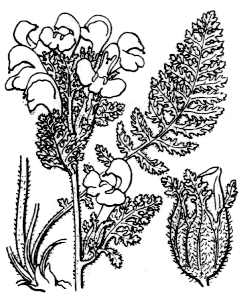 Pedicularis gyroflexa Vill. - illustration de coste