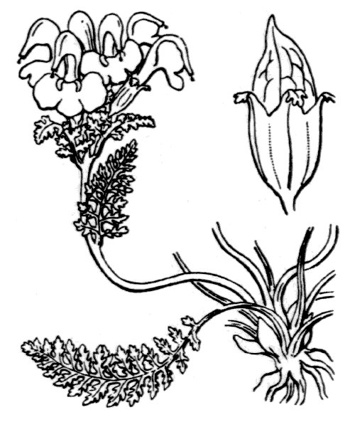 Pedicularis kerneri Dalla Torre - illustration de coste
