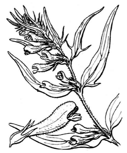 Melampyrum pratense L. - illustration de coste