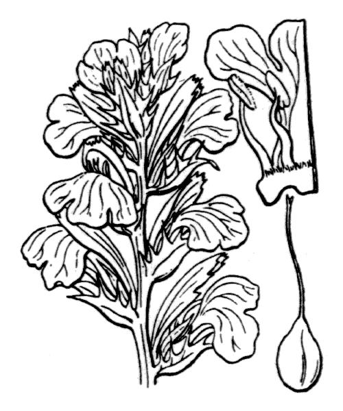 Acanthus mollis L. - illustration de coste