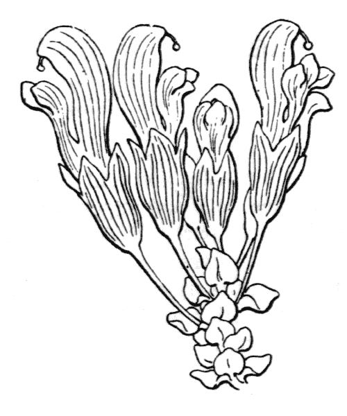 Lathraea clandestina L. [1753] - illustration de coste