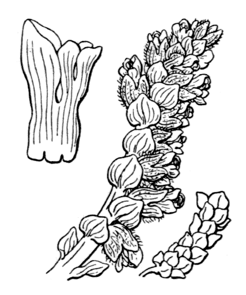 Lathraea squamaria L. - illustration de coste