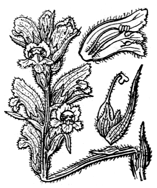 Orobanche caryophyllacea Sm. [1798] - illustration de coste