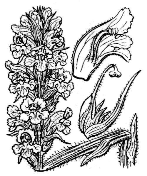 Orobanche elatior Sutton - illustration de coste
