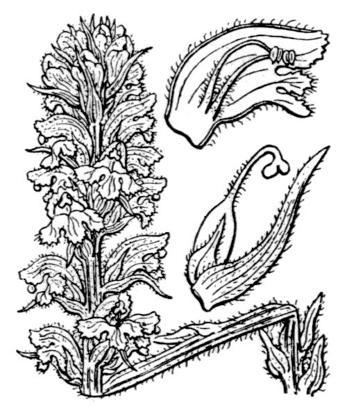 Orobanche salviae F.W.Schultz ex W.D.J.Koch [1833] - illustration de coste