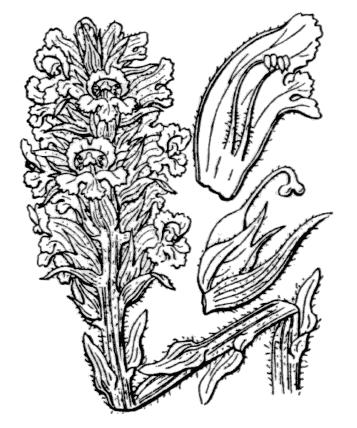 Orobanche santolinae Loscos & J.Pardo - illustration de coste