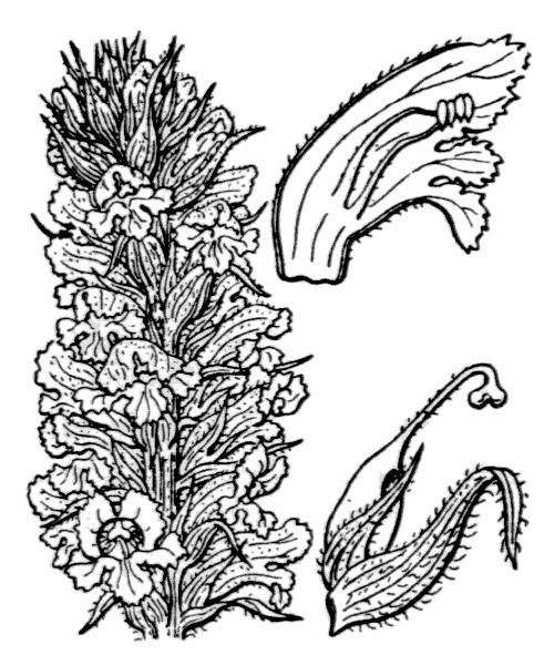 Orobanche amethystea Thuill. [1799] - illustration de coste