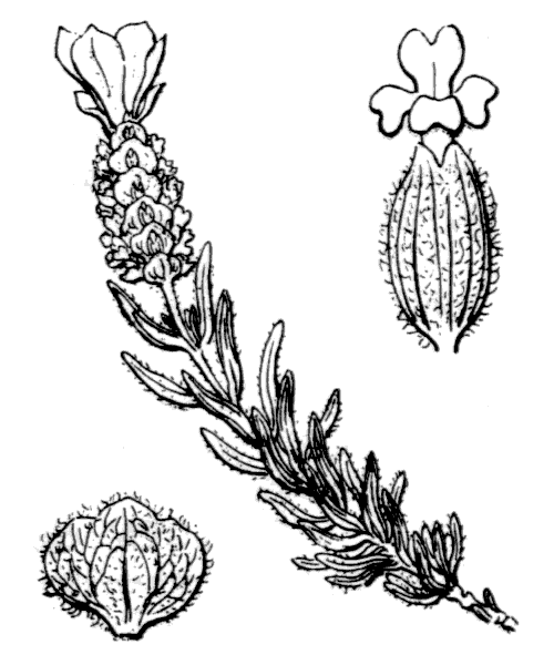 Lavandula stoechas L. [1753] - illustration de coste