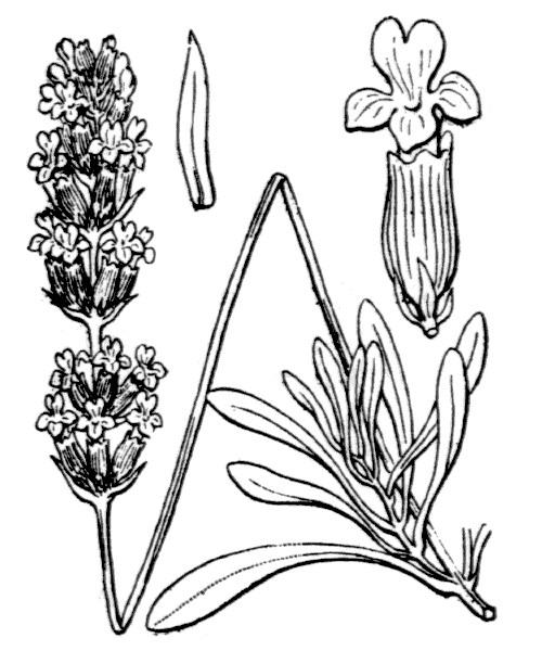 Lavandula latifolia Medik. - illustration de coste