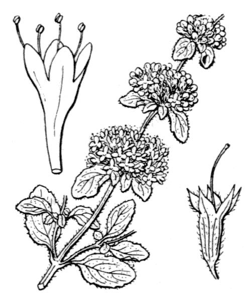 Mentha pulegium L. - illustration de coste