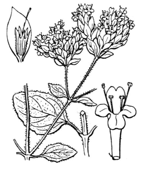Origanum vulgare L. - illustration de coste