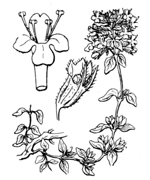 Thymus herba-barona Loisel. - illustration de coste