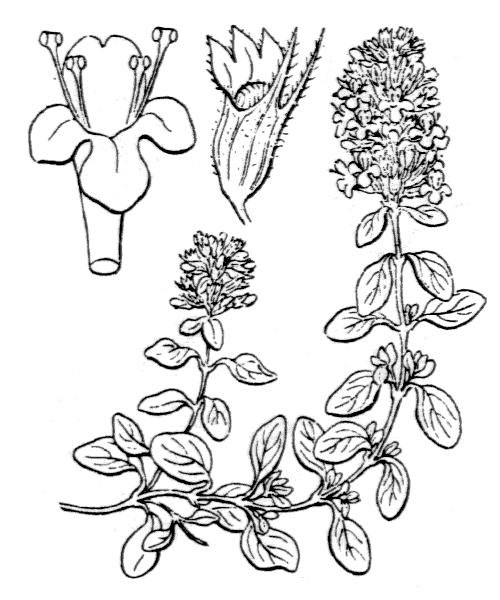 Thymus pulegioides subsp. chamaedrys (Fr.) Litard. - illustration de coste