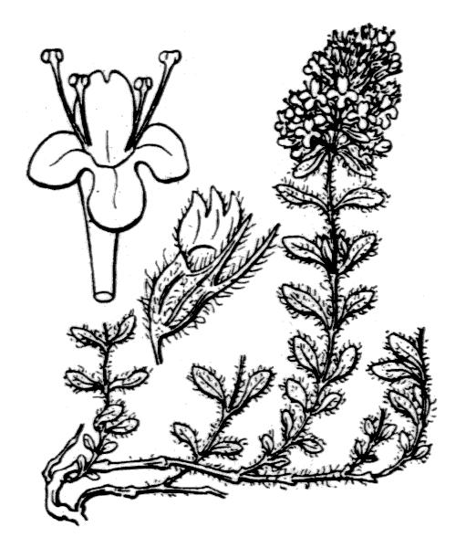 Thymus pulegioides subsp. pulegioides var. vestitus (Lange) Jalás [1974] - illustration de coste