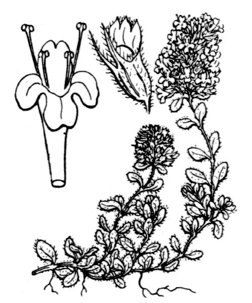 Thymus praecox Opiz subsp. praecox - illustration de coste