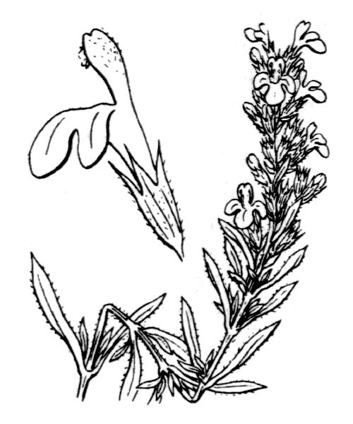Satureja montana L. - illustration de coste