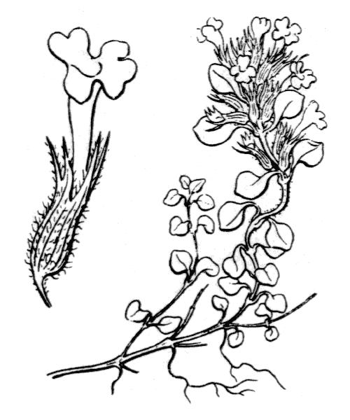 Clinopodium corsicum (Pers.) Govaerts - illustration de coste