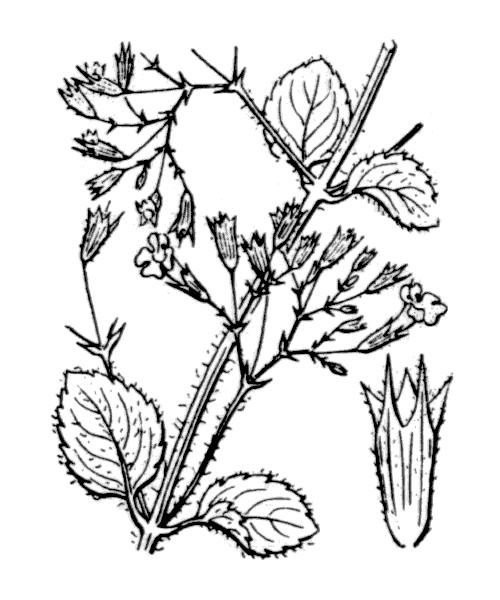 Clinopodium nepeta (L.) Kuntze - illustration de coste