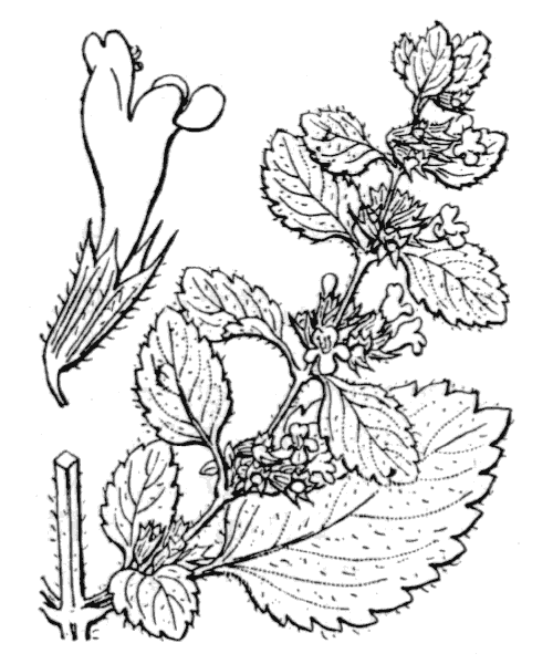 Melissa officinalis L. - illustration de coste