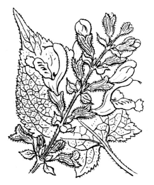 Salvia glutinosa L. - illustration de coste