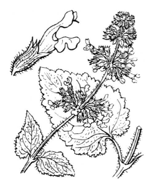 Salvia verticillata L. - illustration de coste
