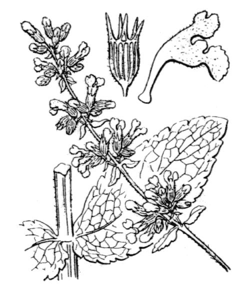 Nepeta nuda L. - illustration de coste