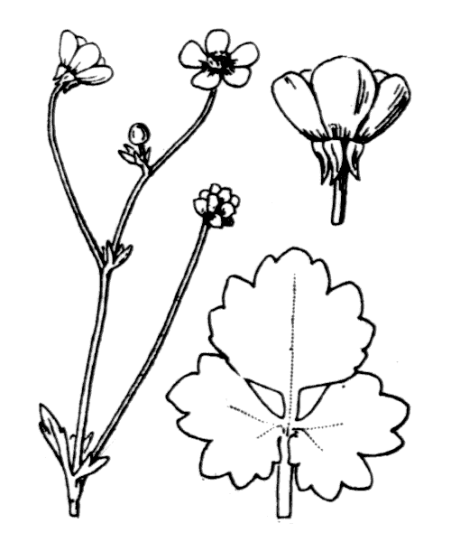 Ranunculus sardous Crantz - illustration de coste