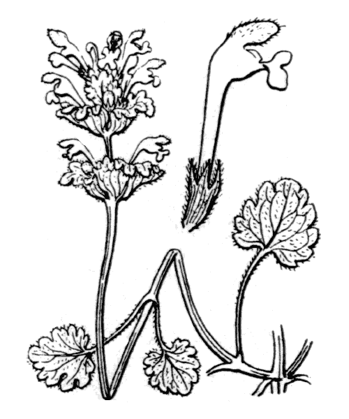 Lamium amplexicaule L. [1753] - illustration de coste