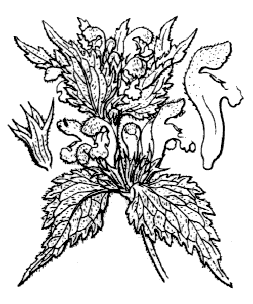 Lamium maculatum (L.) L. - illustration de coste