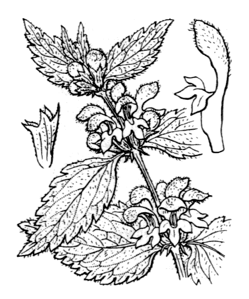Lamium galeobdolon (L.) L. - illustration de coste