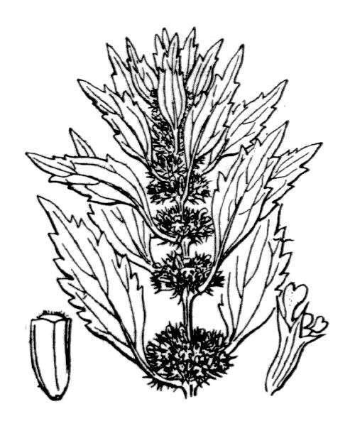 Chaiturus marrubiastrum (L.) Rchb. - illustration de coste