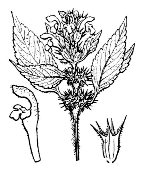 Galeopsis tetrahit L. - illustration de coste
