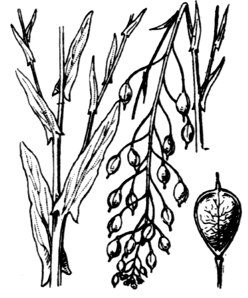 Camelina sativa (L.) Crantz - illustration de coste