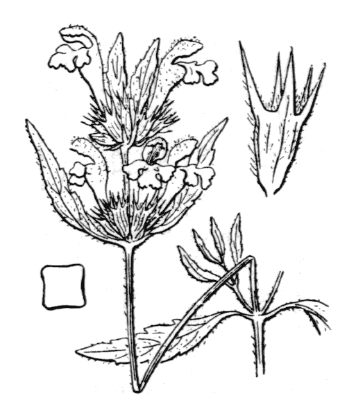 Galeopsis ladanum L. - illustration de coste