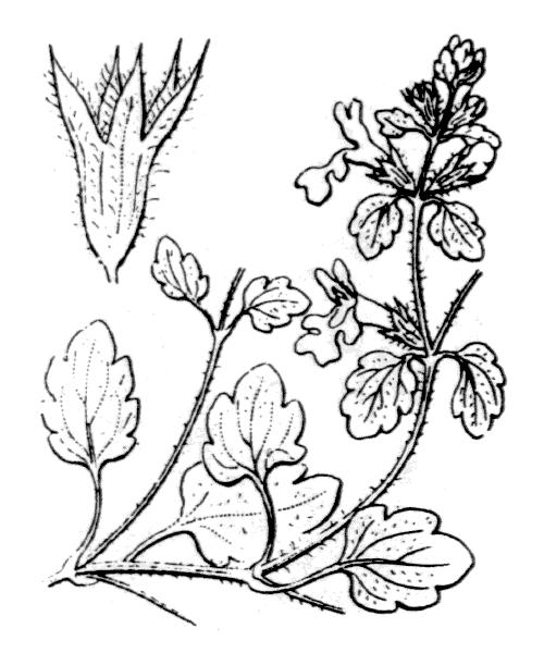 Stachys corsica Pers. - illustration de coste