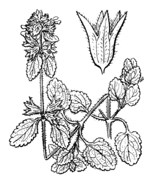 Stachys arvensis (L.) L. [1763] - illustration de coste