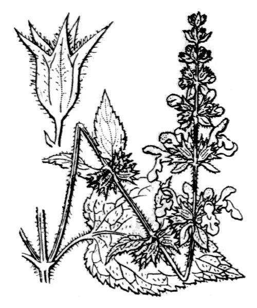 Stachys sylvatica L. - illustration de coste