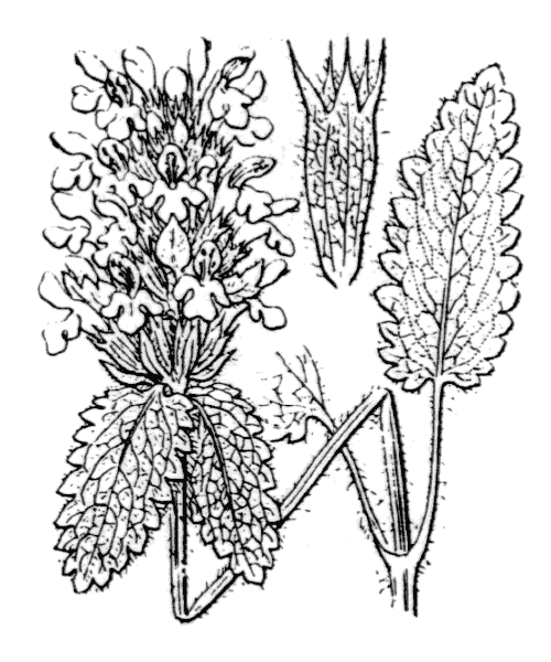 Betonica hirsuta L. - illustration de coste