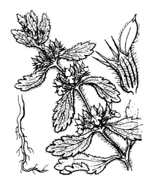Sideritis romana L. - illustration de coste