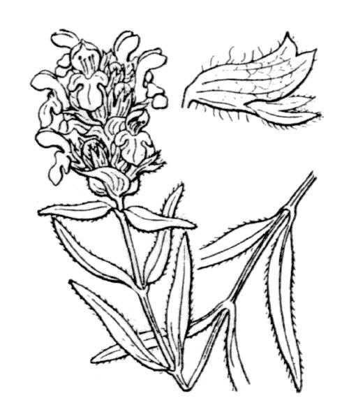 Prunella hyssopifolia L. [1753] - illustration de coste