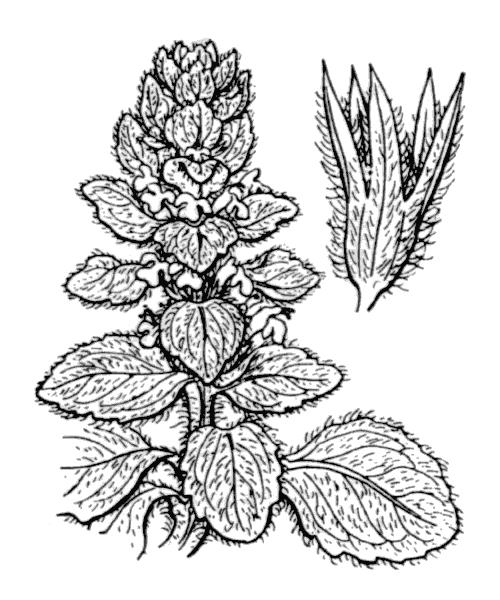 Ajuga pyramidalis L. var. pyramidalis - illustration de coste