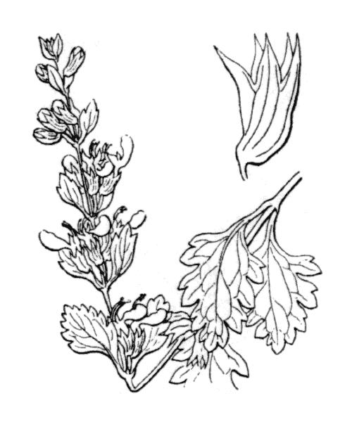 Teucrium lucidum L. - illustration de coste