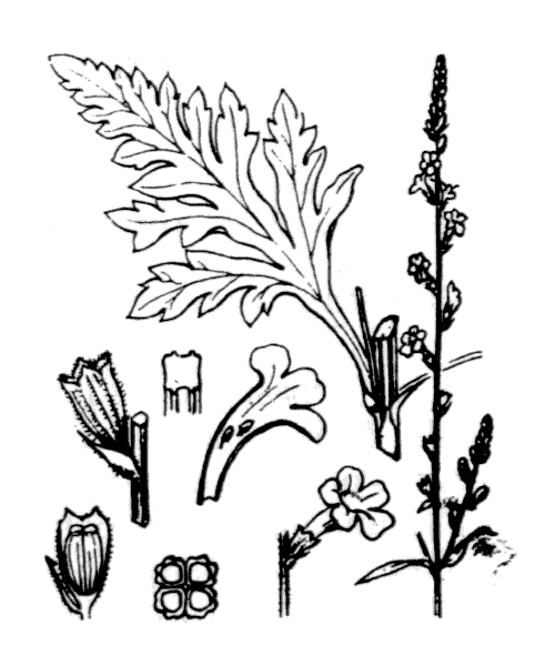 Verbena officinalis L. - illustration de coste