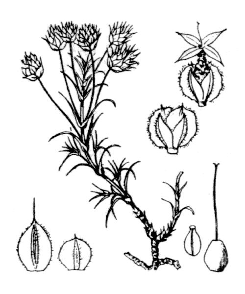 Plantago afra L. - illustration de coste
