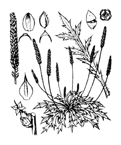 Plantago coronopus L. - illustration de coste